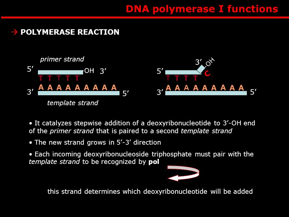 this strand determines which deoxyribonucleotide will be added