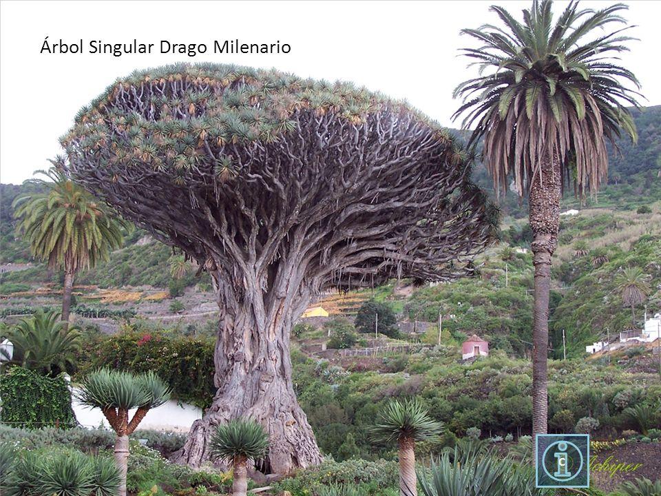Árbol Singular Drago Milenario