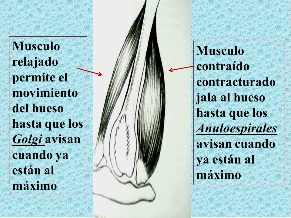 Musculo relajado. permite el. movimiento. del hueso. hasta que los. Golgi avisan. cuando ya. están al.