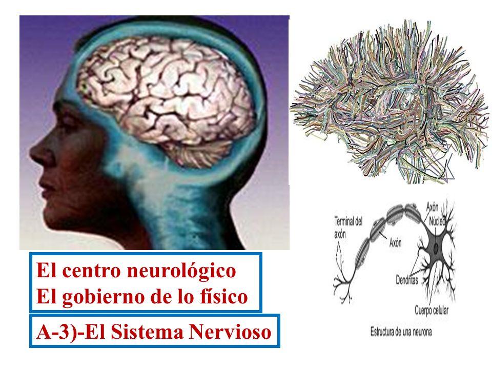El centro neurológico El gobierno de lo físico A-3)-El Sistema Nervioso