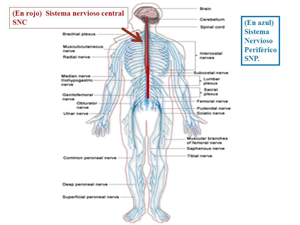 (En rojo) Sistema nervioso central