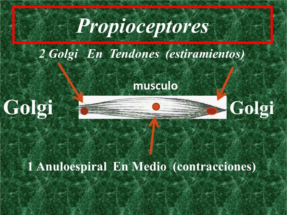 Propioceptores Golgi Golgi 2 Golgi En Tendones (estiramientos) musculo