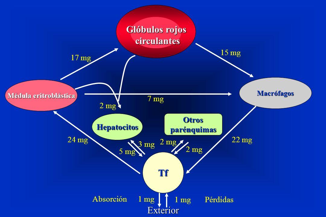 Médula eritroblástica