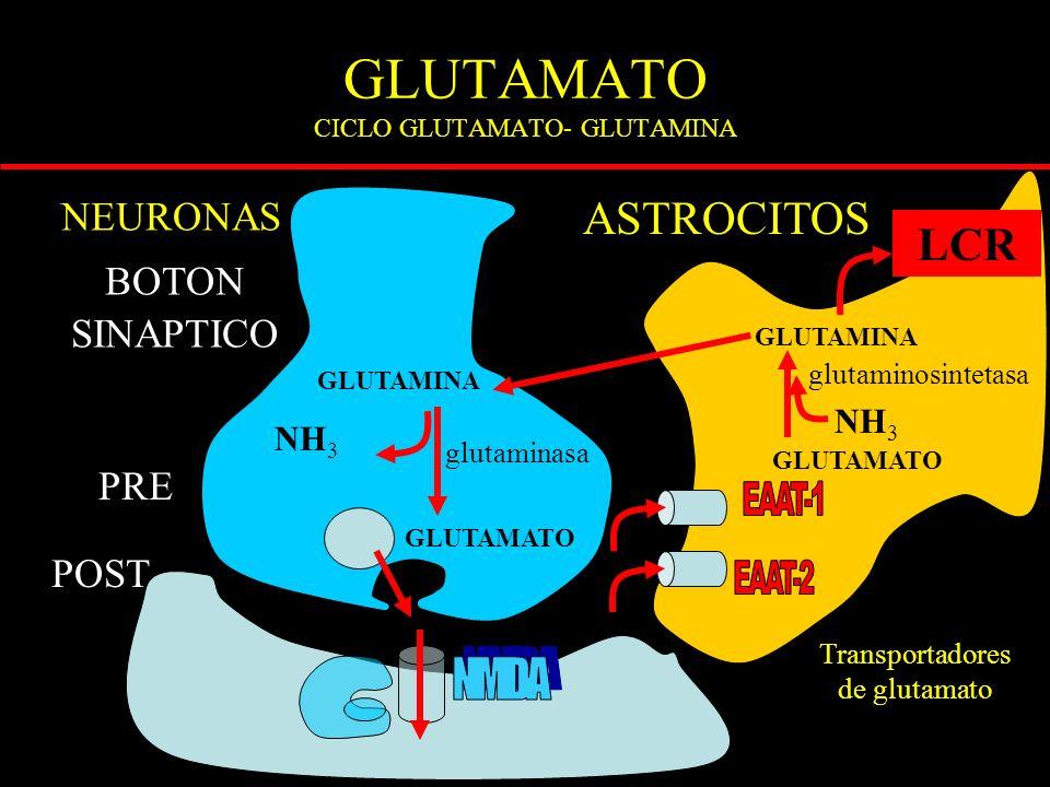 GLUTAMATO CICLO GLUTAMATO- GLUTAMINA