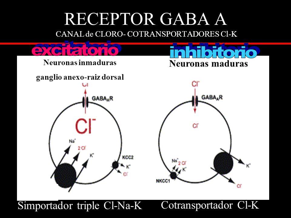 RECEPTOR GABA A CANAL de CLORO- COTRANSPORTADORES Cl-K