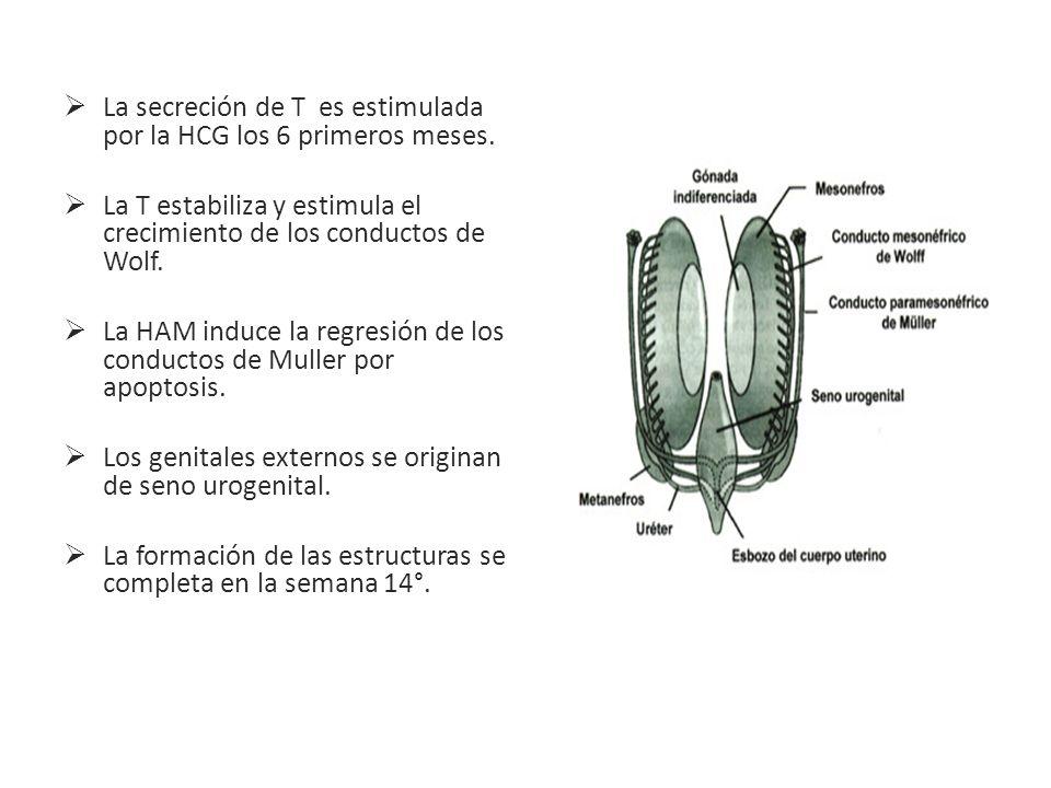 La secreción de T es estimulada por la HCG los 6 primeros meses.