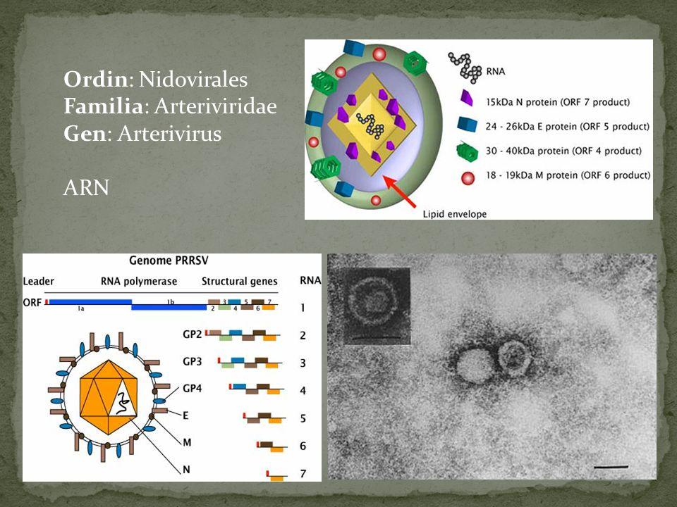 Ordin: Nidovirales Familia: Arteriviridae Gen: Arterivirus