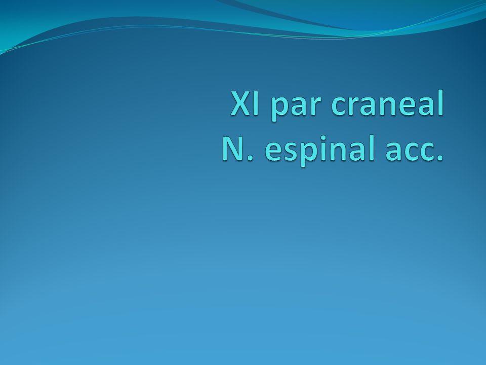 XI par craneal N. espinal acc.