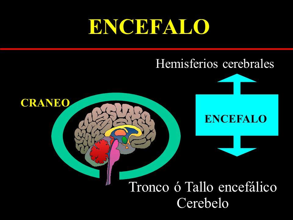 ENCEFALO Tronco ó Tallo encefálico Cerebelo Hemisferios cerebrales