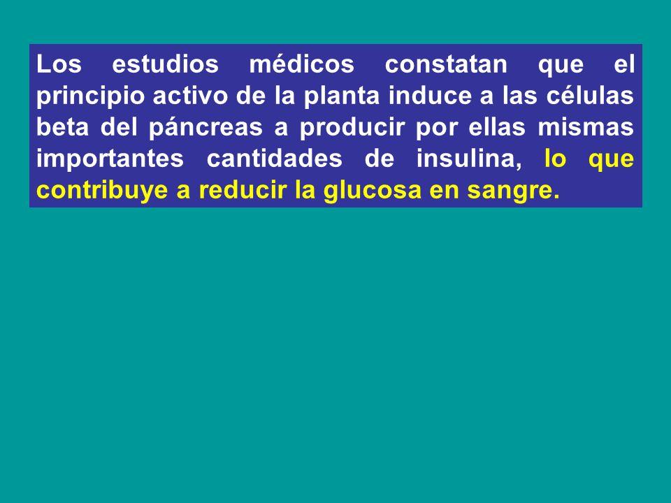 Los estudios médicos constatan que el principio activo de la planta induce a las células beta del páncreas a producir por ellas mismas importantes cantidades de insulina, lo que contribuye a reducir la glucosa en sangre.