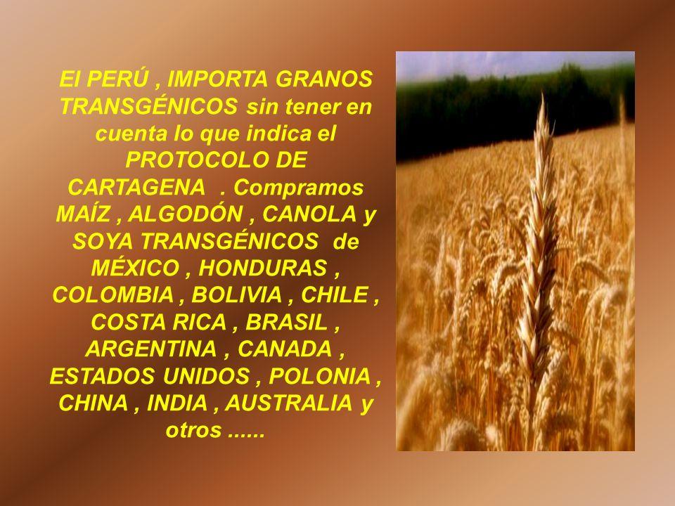 El PERÚ , IMPORTA GRANOS TRANSGÉNICOS sin tener en cuenta lo que indica el PROTOCOLO DE CARTAGENA .