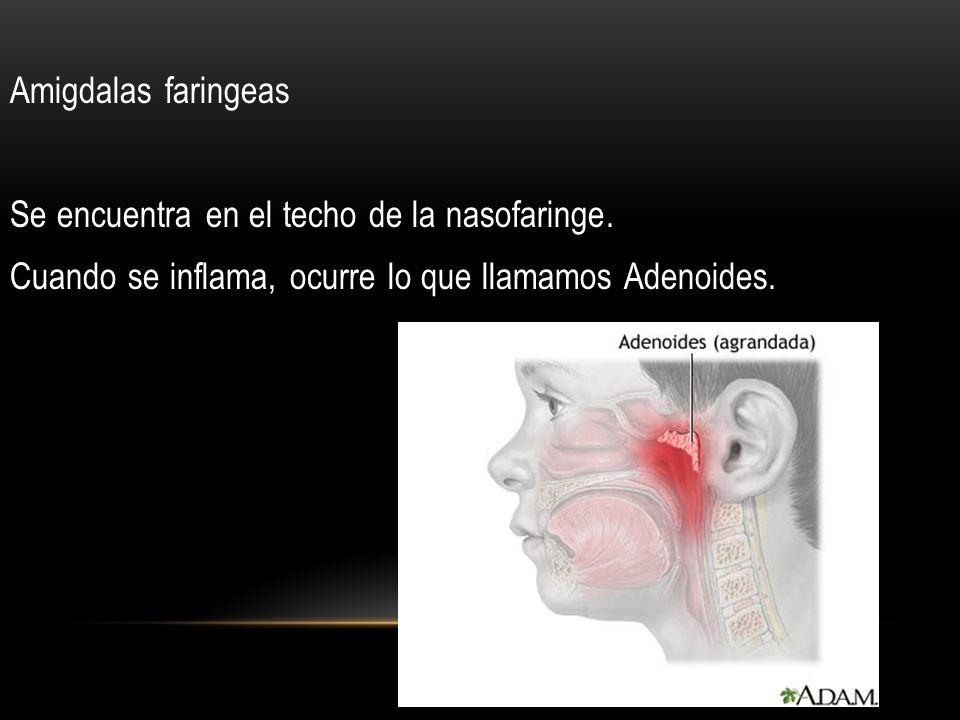 Amigdalas faringeas Se encuentra en el techo de la nasofaringe
