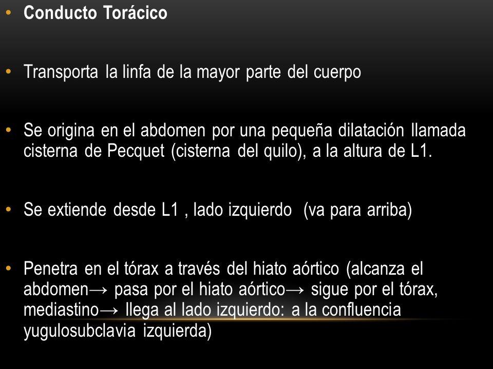 Conducto Torácico Transporta la linfa de la mayor parte del cuerpo.
