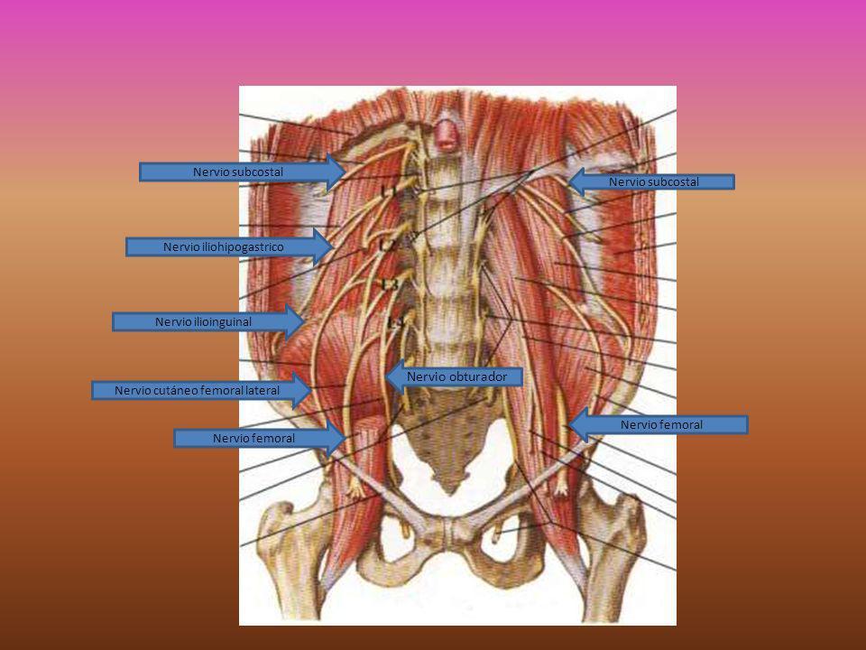 Nervio obturador Nervio subcostal Nervio subcostal