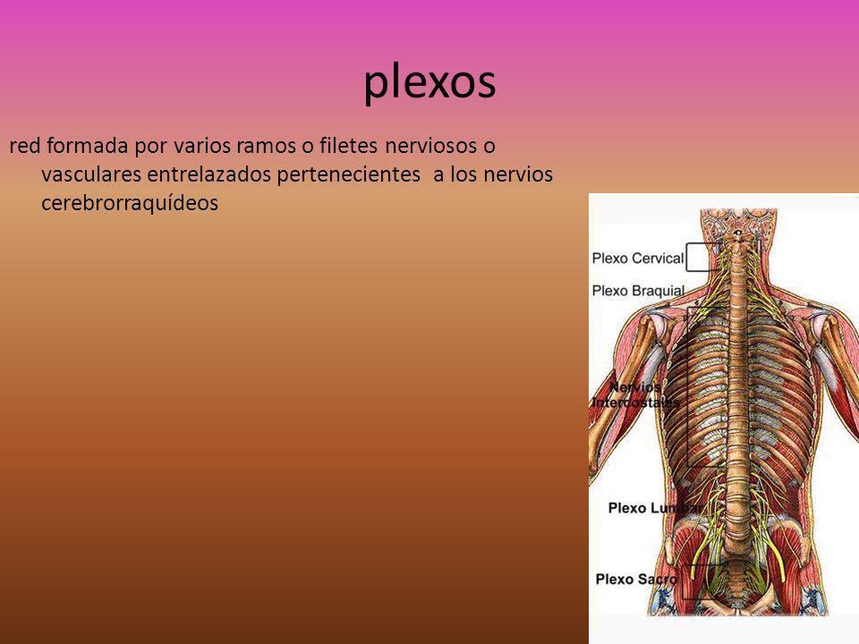 plexos red formada por varios ramos o filetes nerviosos o vasculares entrelazados pertenecientes a los nervios cerebrorraquídeos.