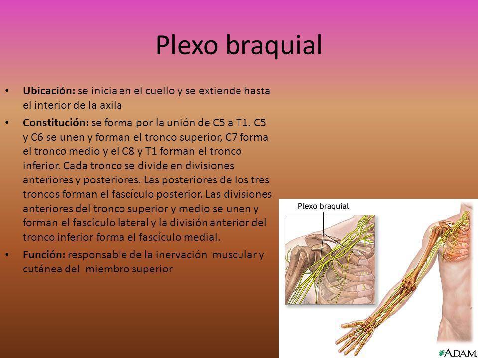 Plexo braquial Ubicación: se inicia en el cuello y se extiende hasta el interior de la axila.