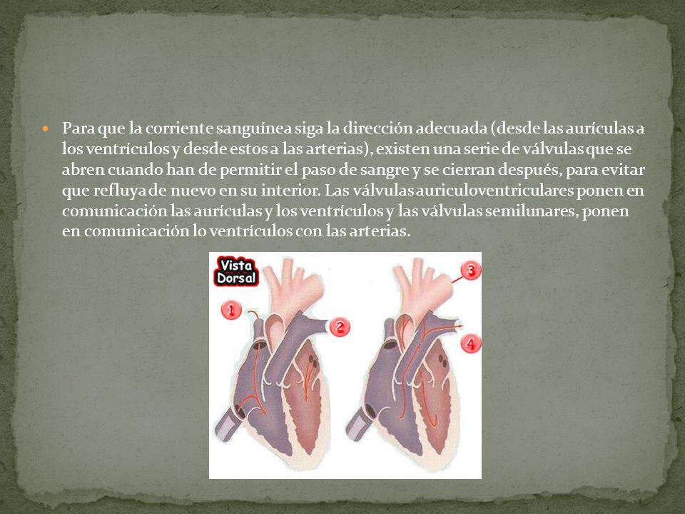 Para que la corriente sanguínea siga la dirección adecuada (desde las aurículas a los ventrículos y desde estos a las arterias), existen una serie de válvulas que se abren cuando han de permitir el paso de sangre y se cierran después, para evitar que refluya de nuevo en su interior.