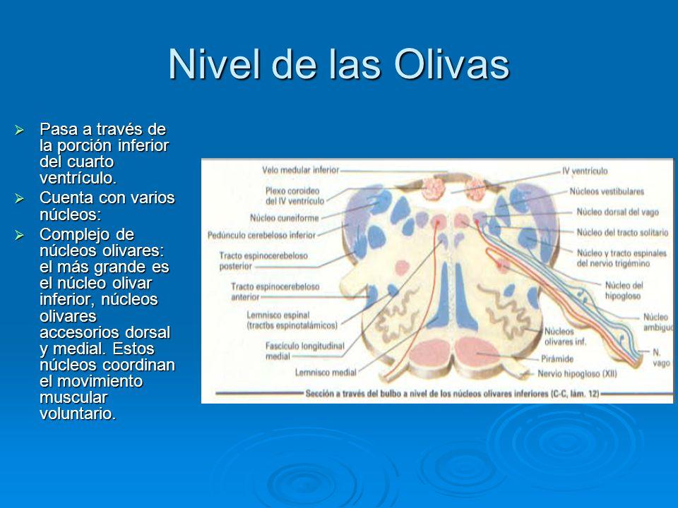 Nivel de las Olivas Pasa a través de la porción inferior del cuarto ventrículo. Cuenta con varios núcleos: