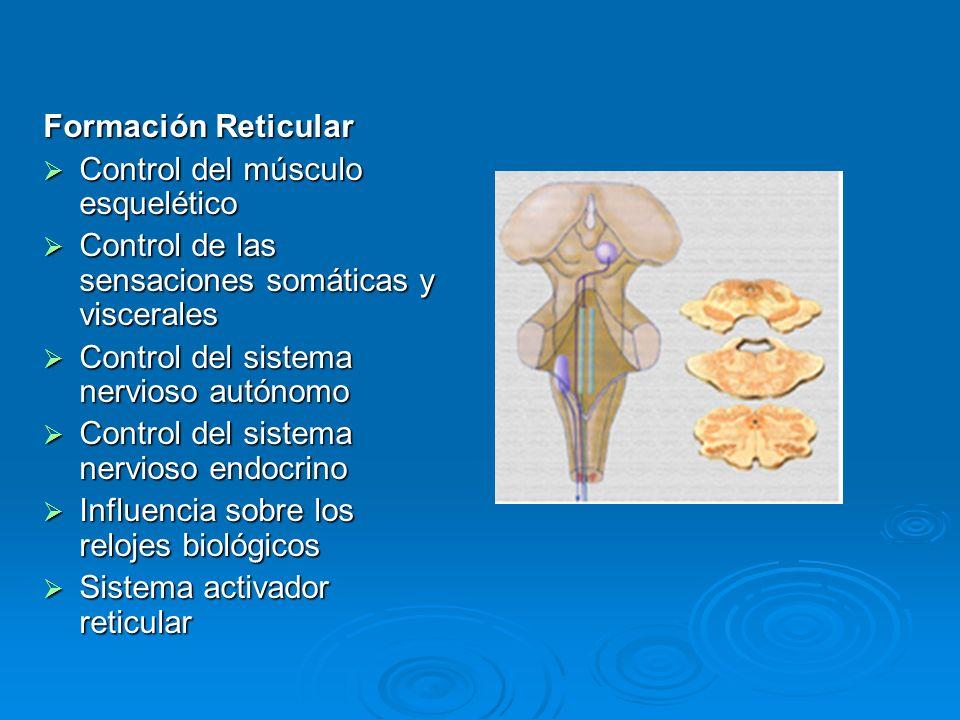 Formación ReticularControl del músculo esquelético. Control de las sensaciones somáticas y viscerales.