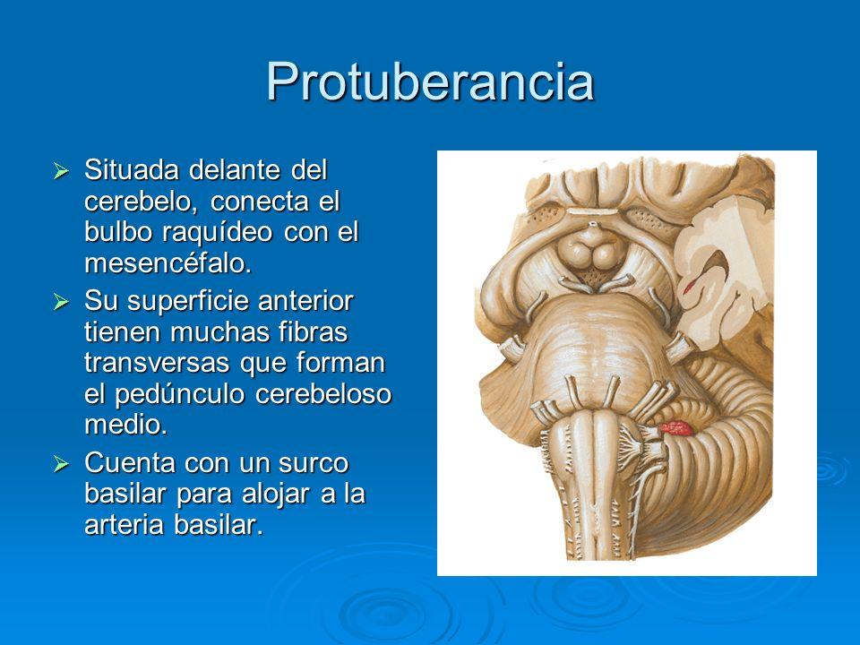 ProtuberanciaSituada delante del cerebelo, conecta el bulbo raquídeo con el mesencéfalo.