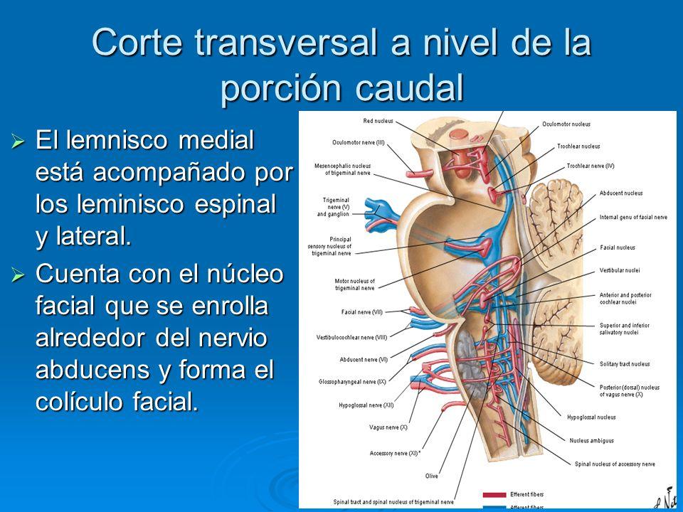 Corte transversal a nivel de la porción caudal