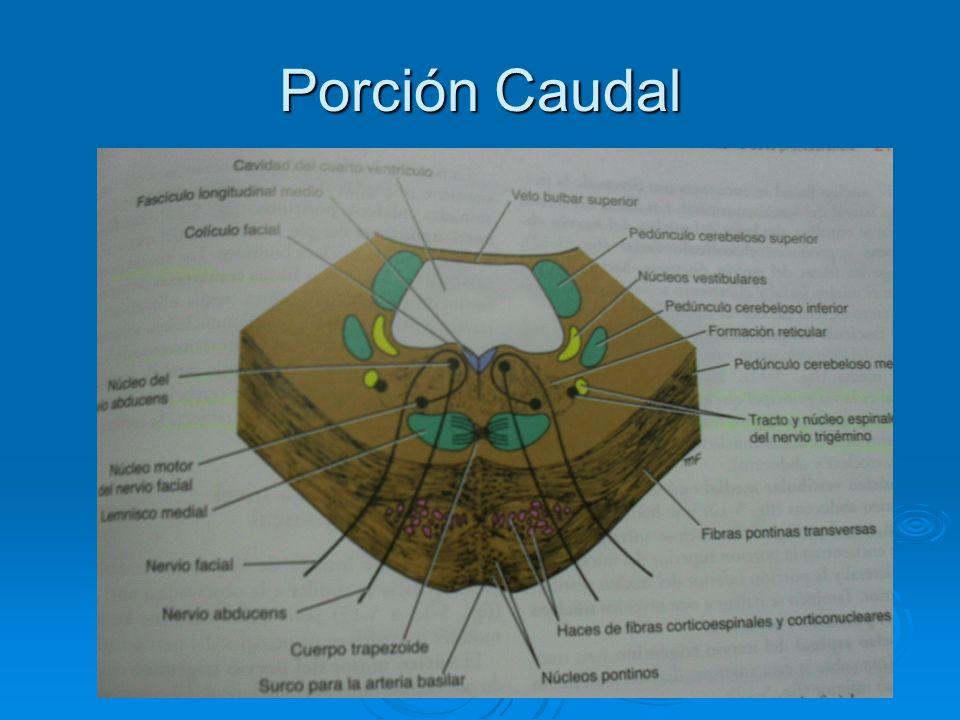 Porción Caudal