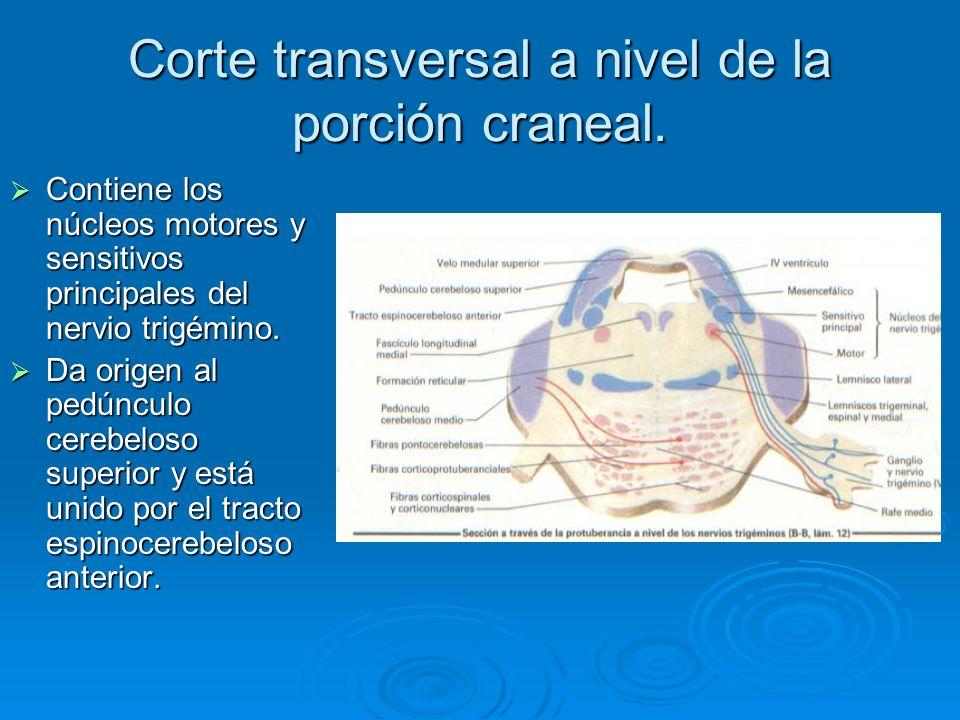 Corte transversal a nivel de la porción craneal.