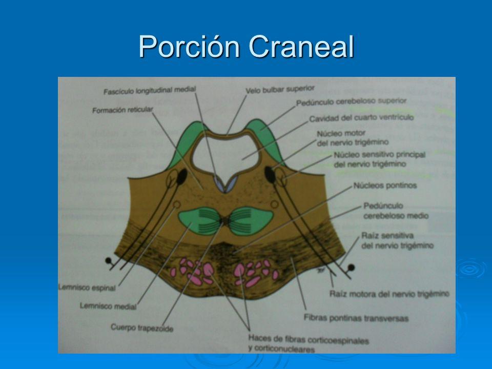 Porción Craneal