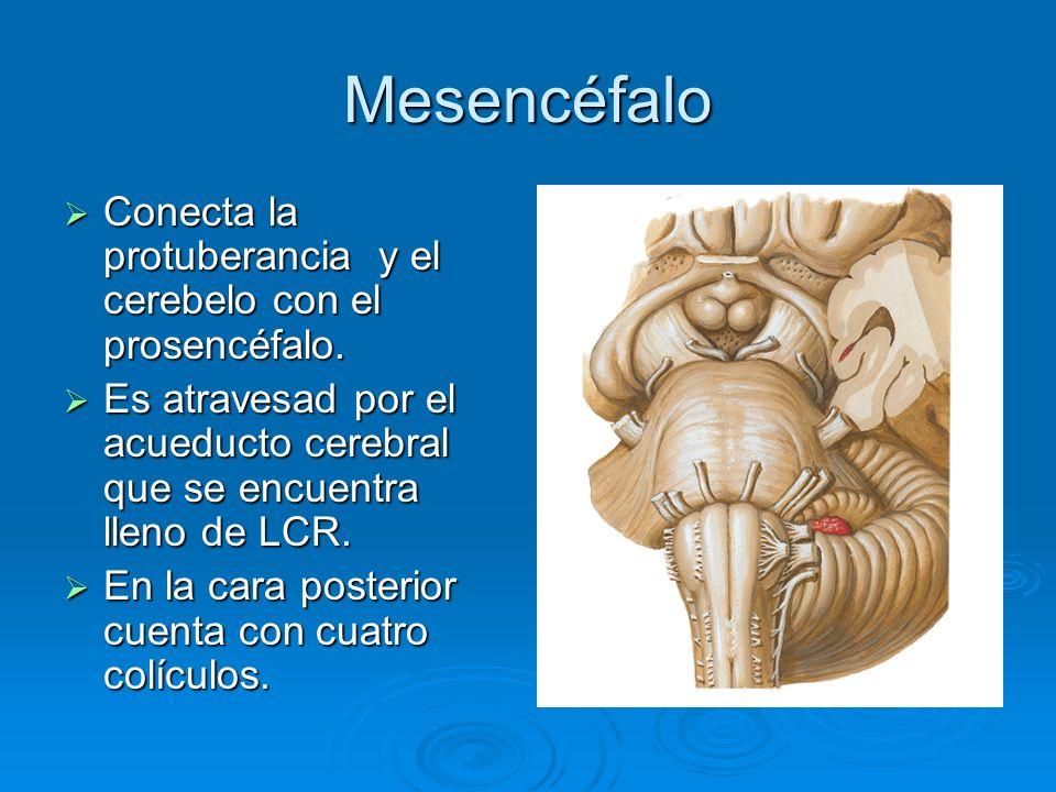 Mesencéfalo Conecta la protuberancia y el cerebelo con el prosencéfalo. Es atravesad por el acueducto cerebral que se encuentra lleno de LCR.