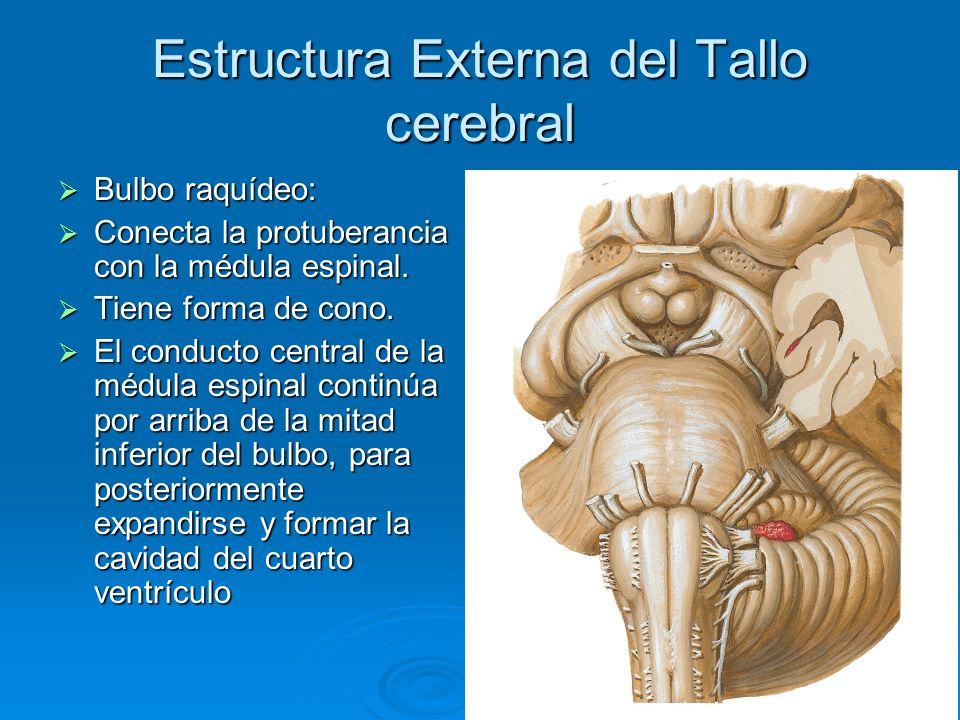 Estructura Externa del Tallo cerebral