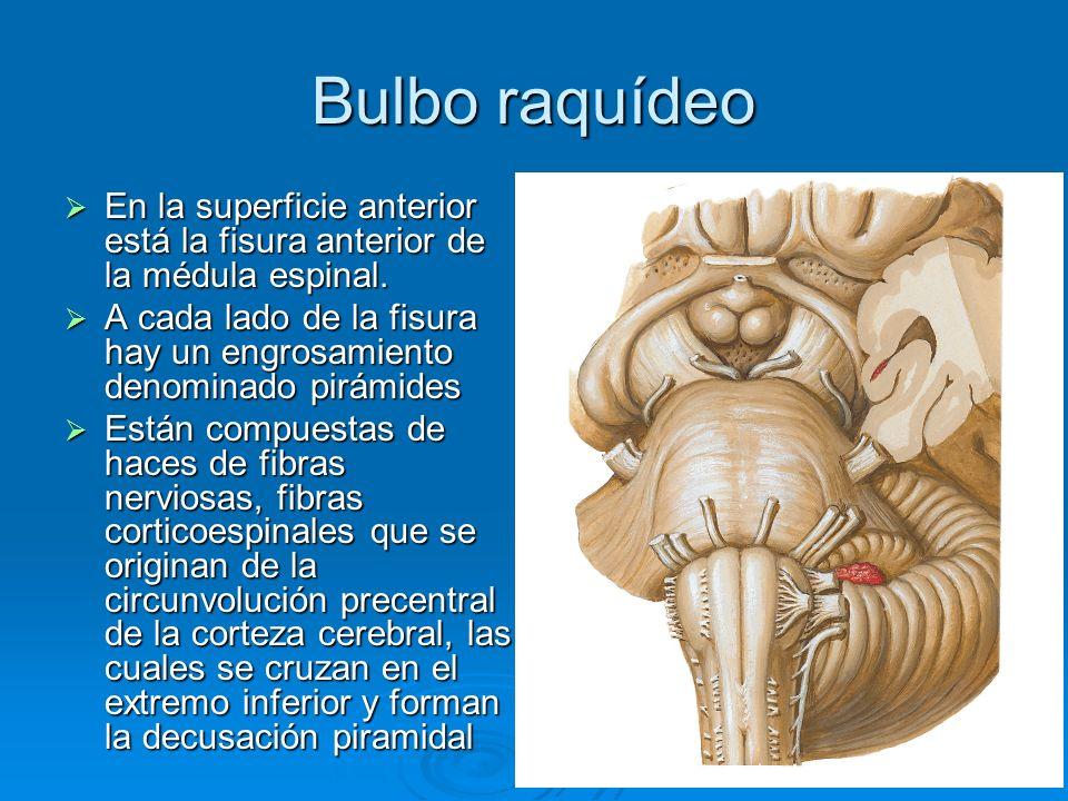 Bulbo raquídeoEn la superficie anterior está la fisura anterior de la médula espinal.