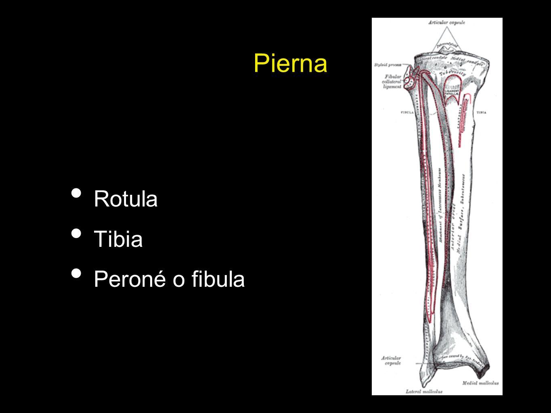 Pierna Rotula Tibia Peroné o fibula