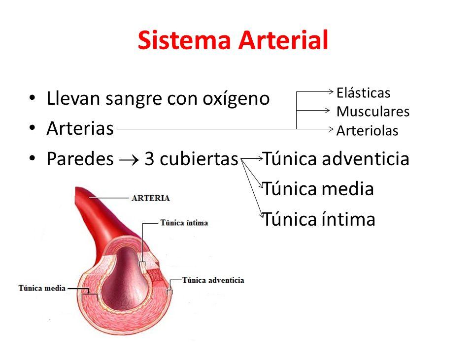 Sistema Arterial Llevan sangre con oxígeno Arterias