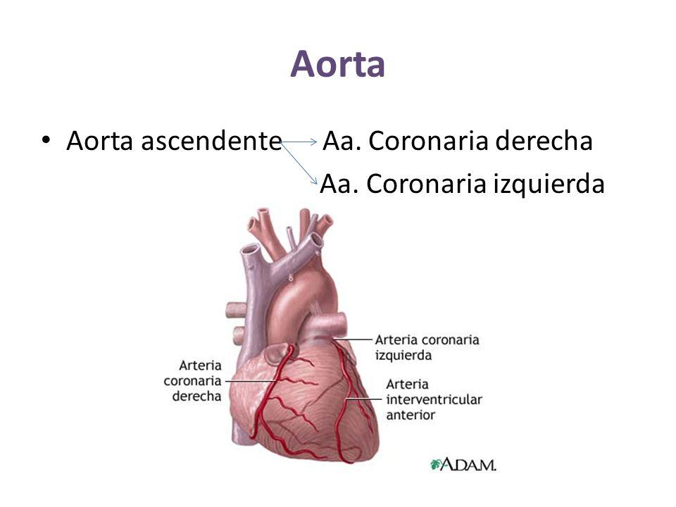 Aorta Aorta ascendente Aa. Coronaria derecha Aa. Coronaria izquierda