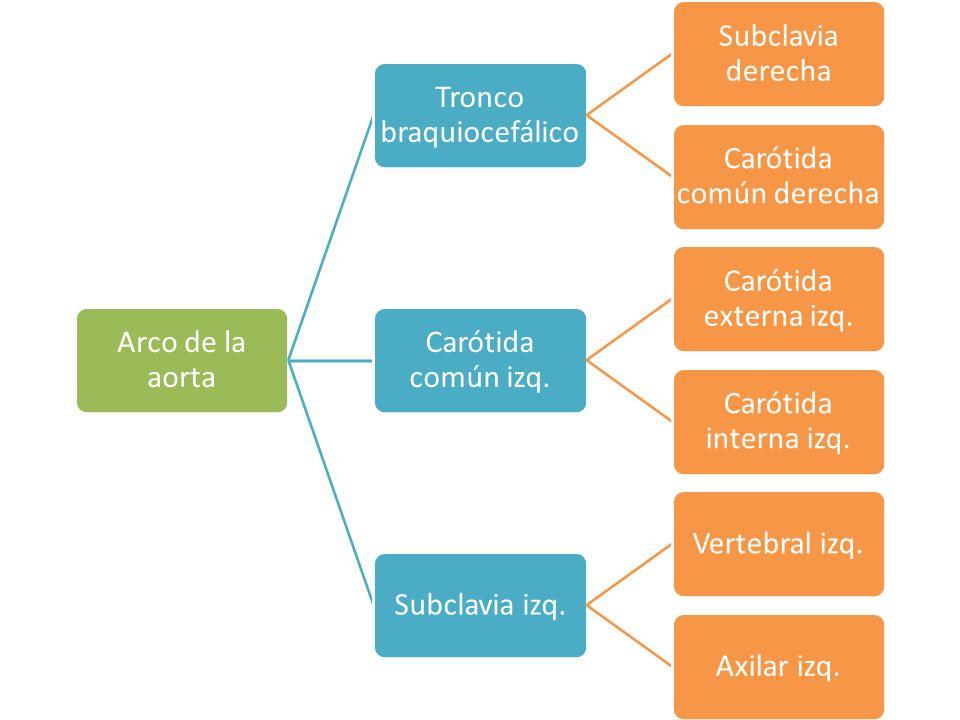 Tronco braquiocefálico Subclavia derecha Carótida común derecha