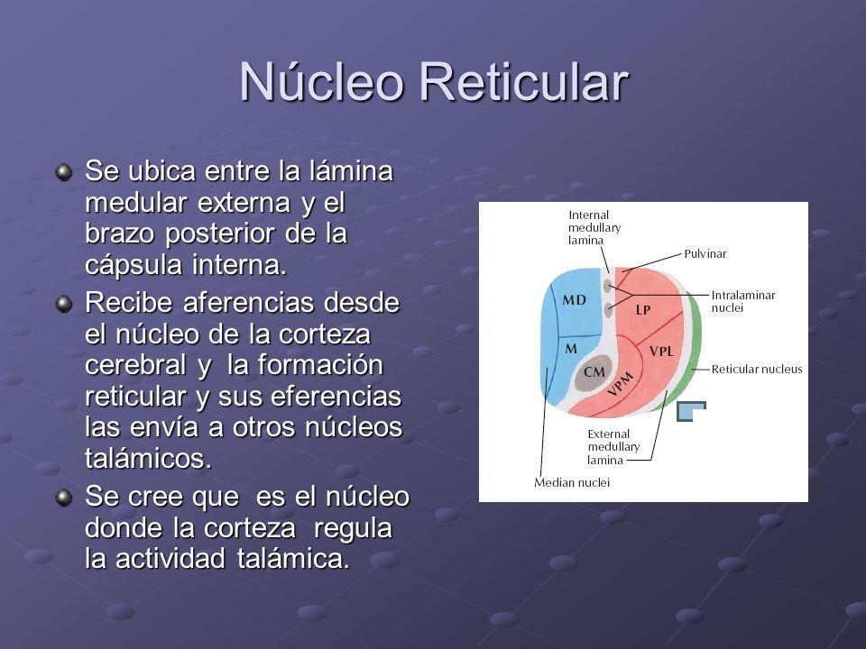 Núcleo Reticular Se ubica entre la lámina medular externa y el brazo posterior de la cápsula interna.