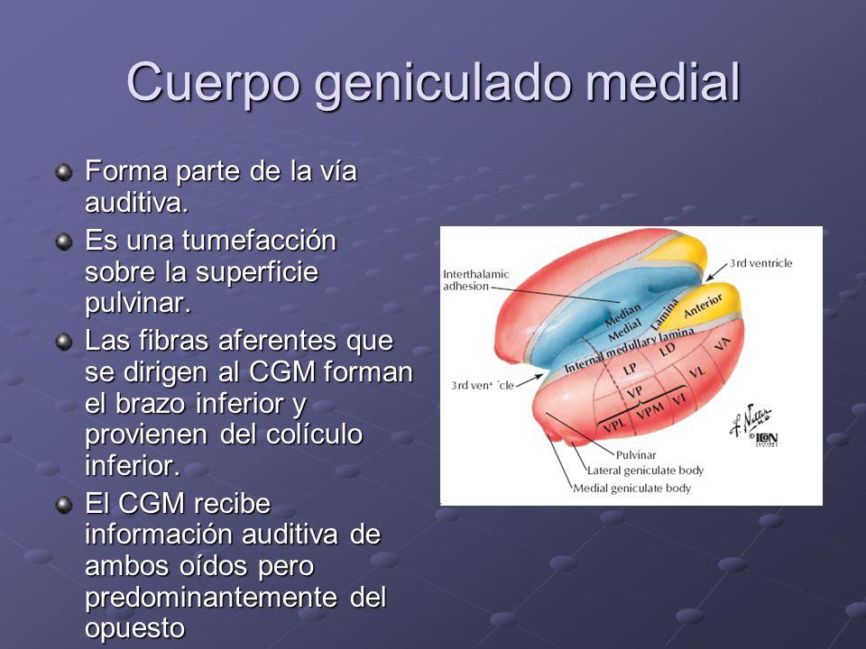 Cuerpo geniculado medial