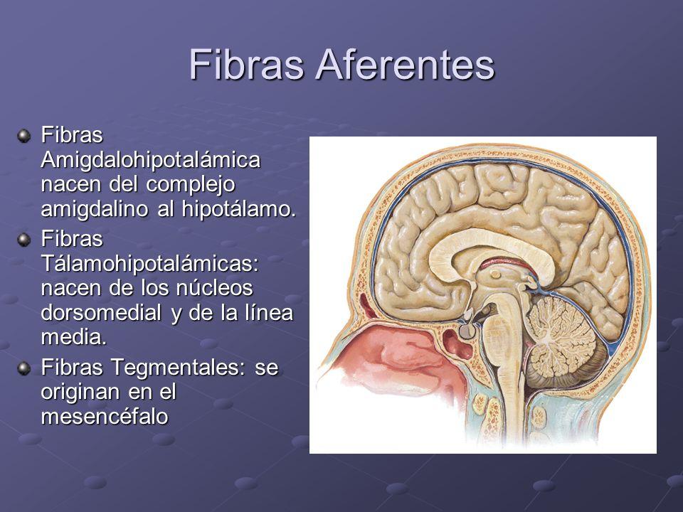 Fibras Aferentes Fibras Amigdalohipotalámica nacen del complejo amigdalino al hipotálamo.