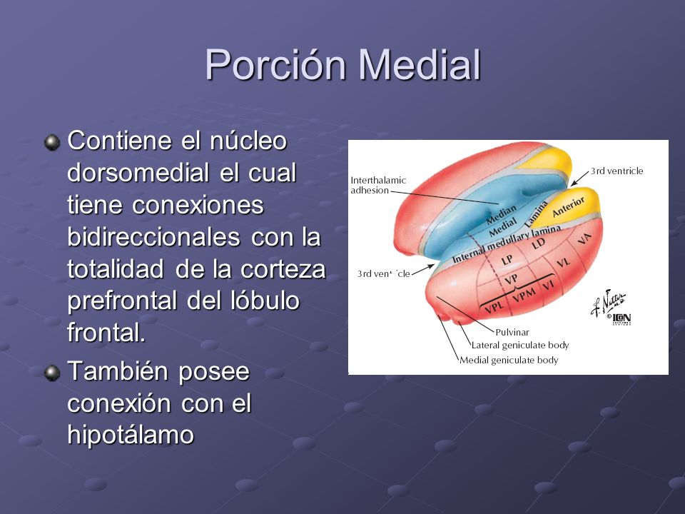 Porción MedialContiene el núcleo dorsomedial el cual tiene conexiones bidireccionales con la totalidad de la corteza prefrontal del lóbulo frontal.