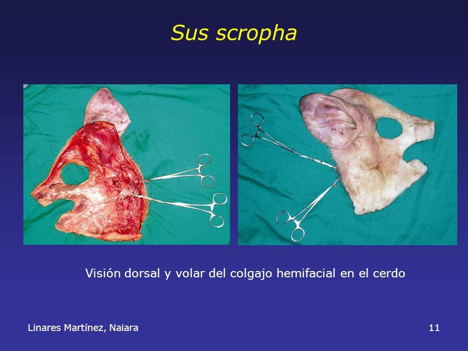Sus scropha Visión dorsal y volar del colgajo hemifacial en el cerdo