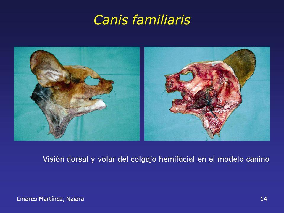Canis familiaris Visión dorsal y volar del colgajo hemifacial en el modelo canino.