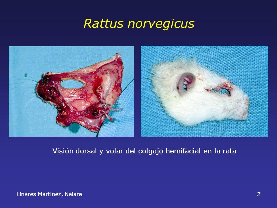 Rattus norvegicus Visión dorsal y volar del colgajo hemifacial en la rata Linares Martínez, Naiara