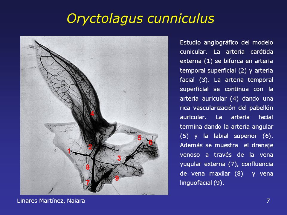 Oryctolagus cunniculus