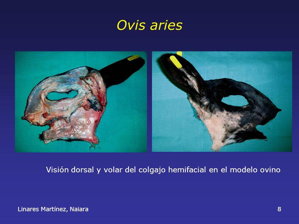 Ovis aries Visión dorsal y volar del colgajo hemifacial en el modelo ovino Linares Martínez, Naiara