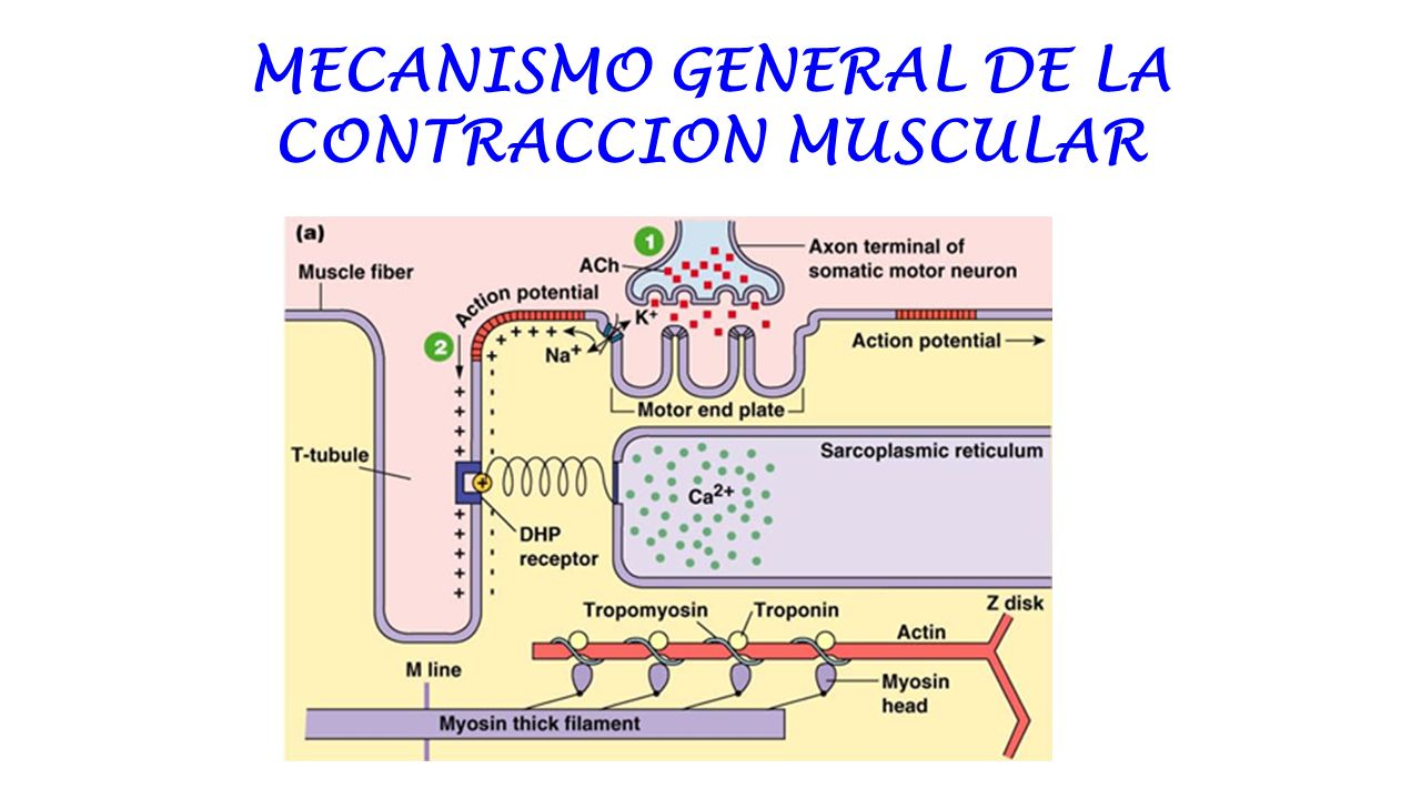 Mecanismo General De La Contraccion Muscular