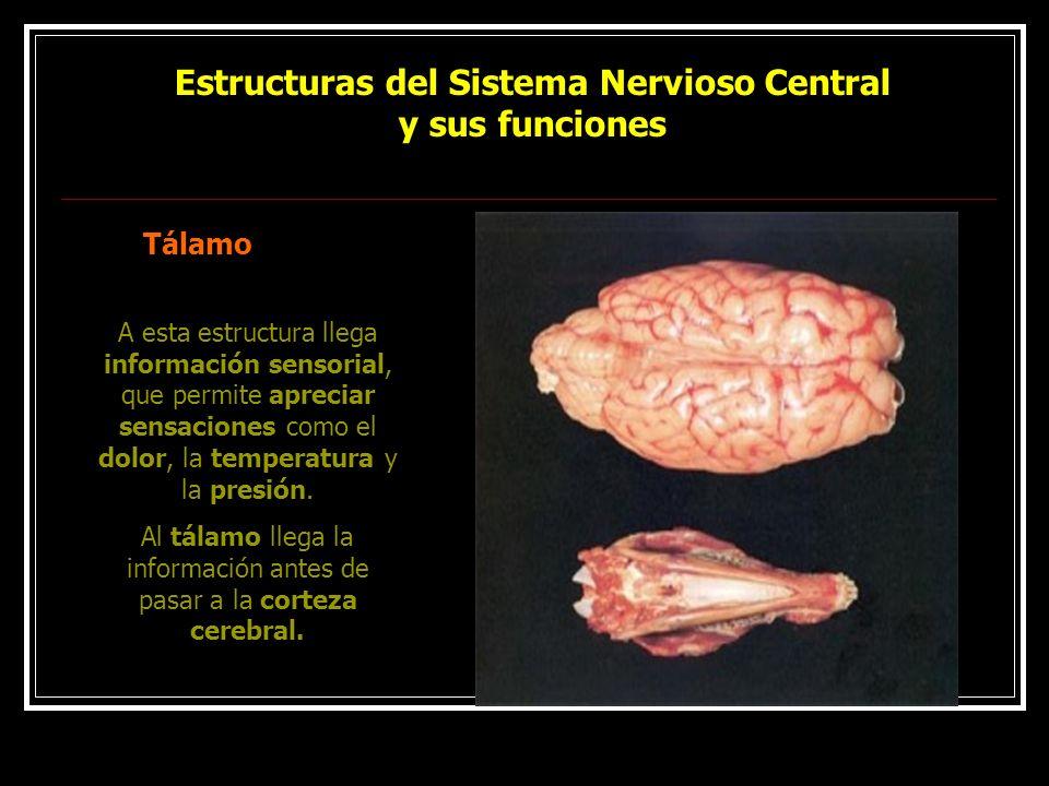 Estructuras del Sistema Nervioso Central y sus funciones
