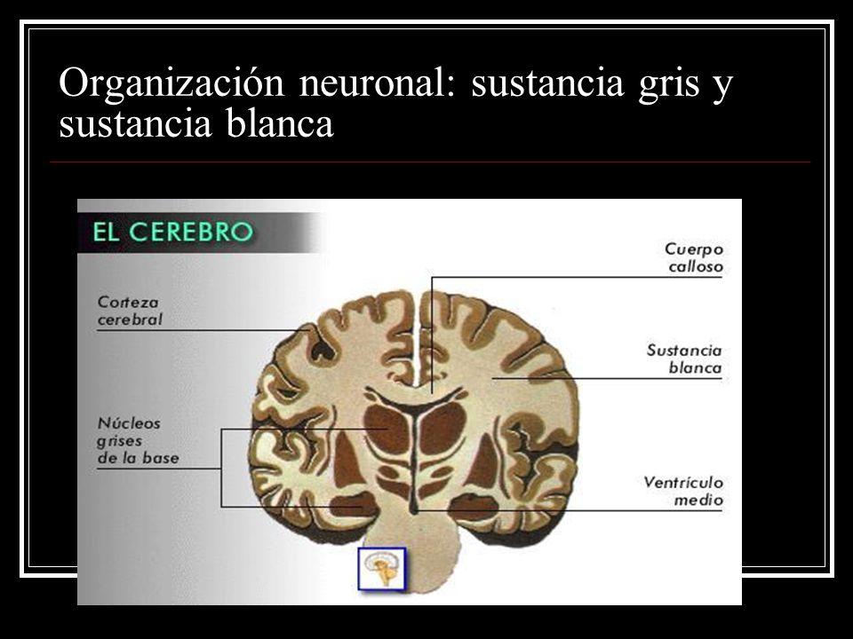 Organización neuronal: sustancia gris y sustancia blanca