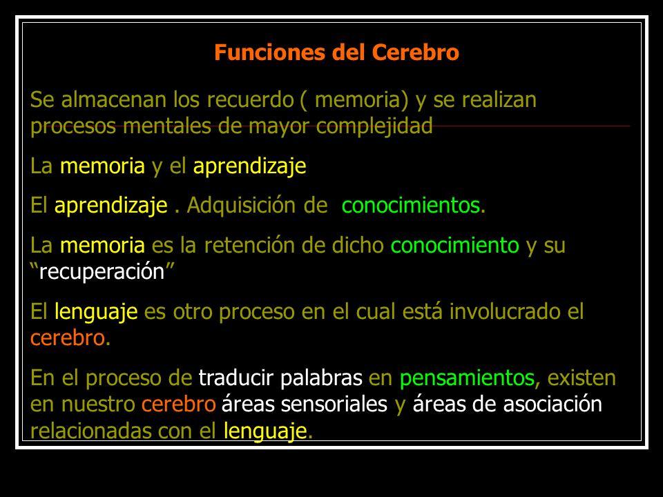 Funciones del CerebroSe almacenan los recuerdo ( memoria) y se realizan procesos mentales de mayor complejidad.