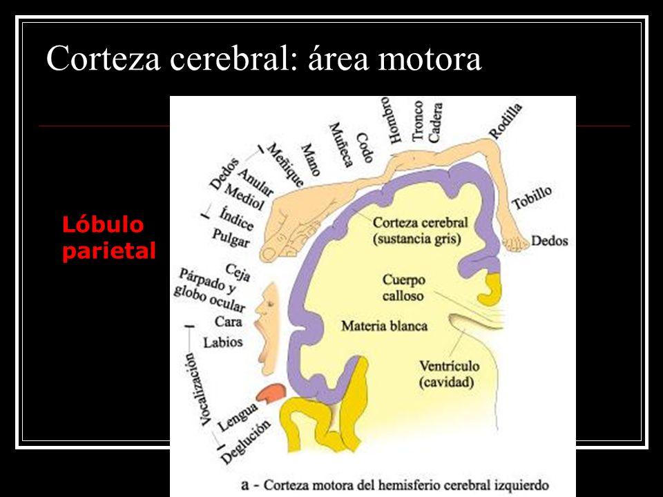 Corteza cerebral: área motora
