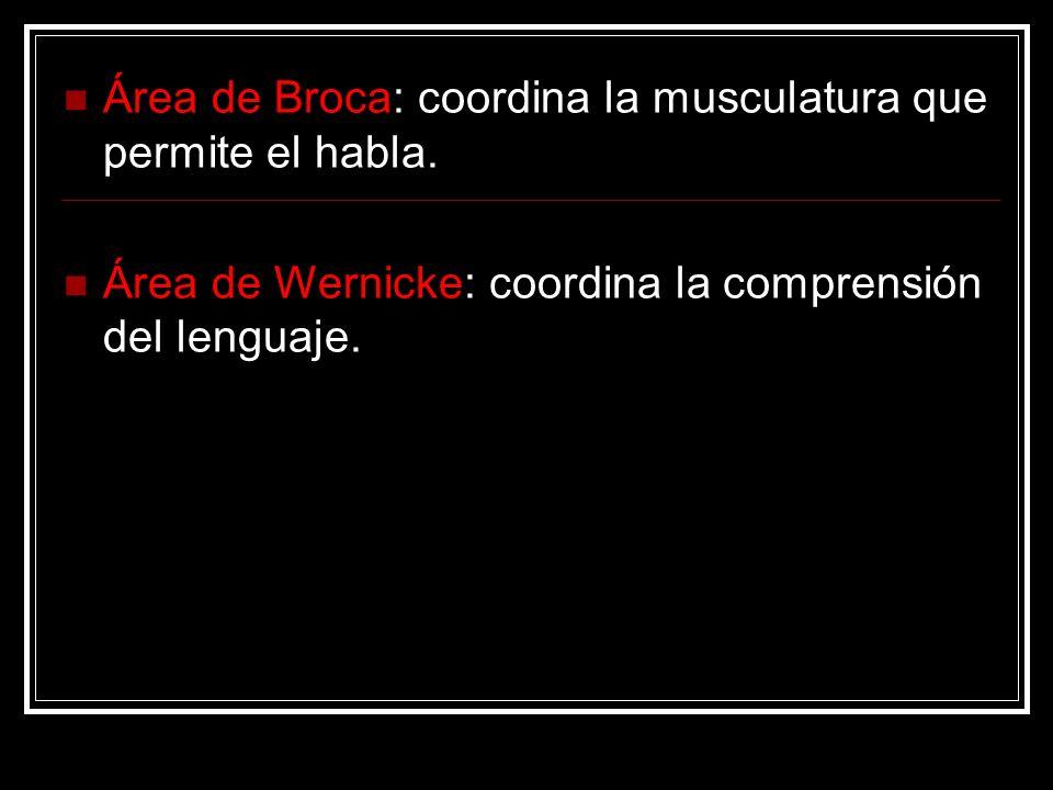 Área de Broca: coordina la musculatura que permite el habla.